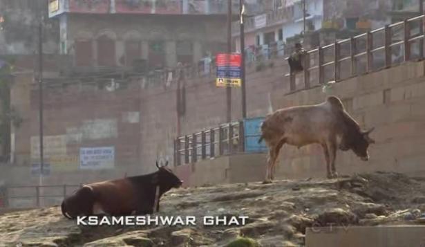 varanasi cows 2