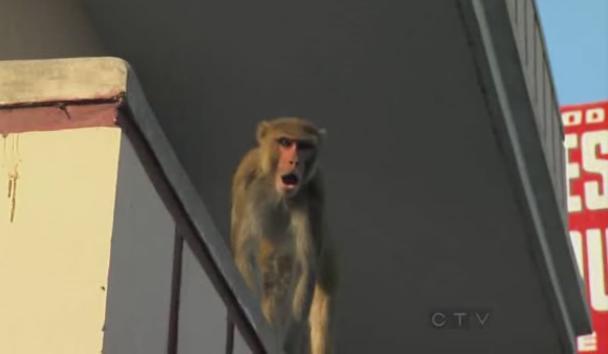 varanasi monkey