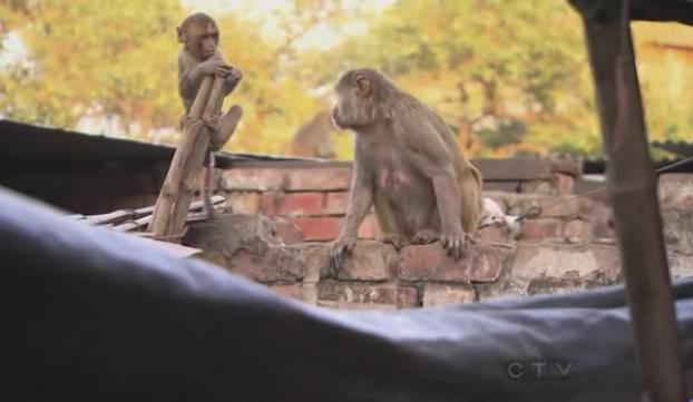 varanasi monkeys 1