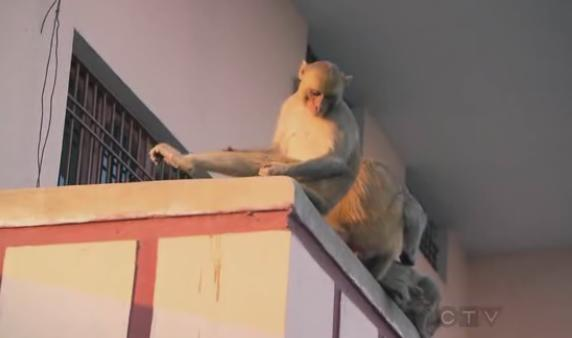 varanasi monkeys 2
