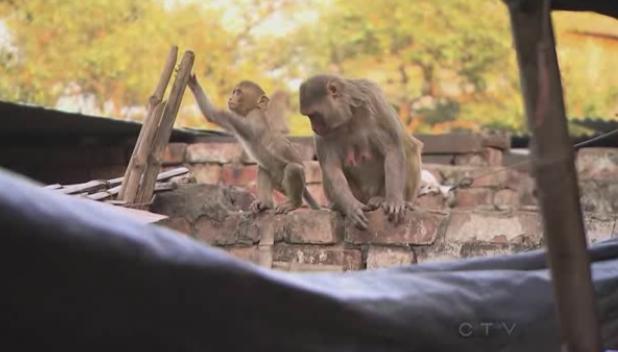 varanasi monkeys