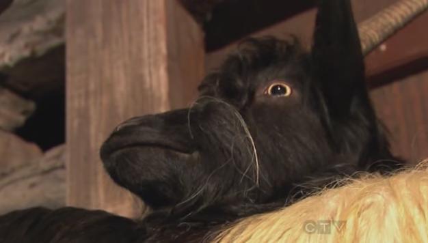 zermatt goats 2