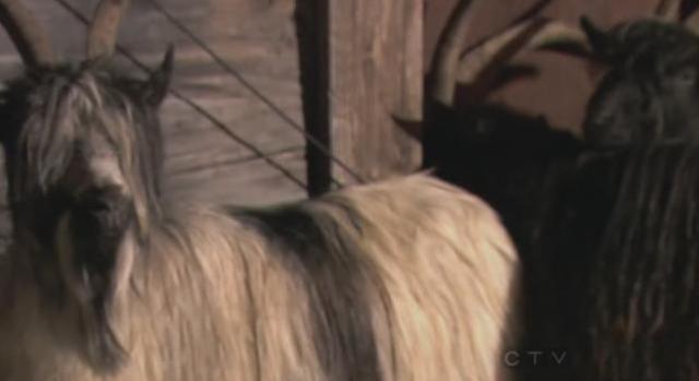 zermatt goats 4