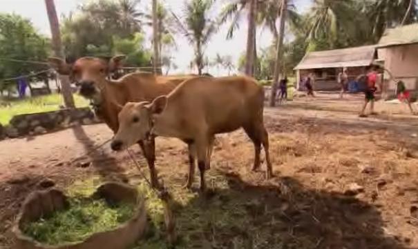 denpasar cows