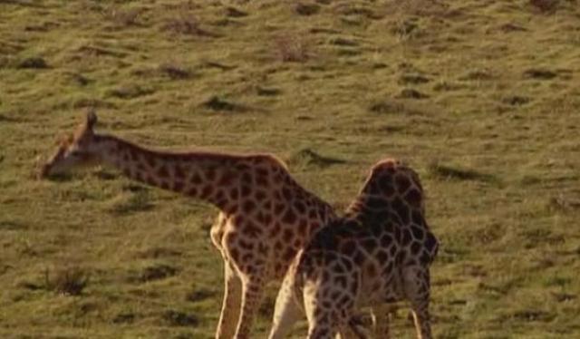 port-elizabeth-giraffe-3