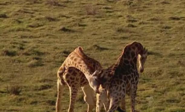port-elizabeth-giraffe-4