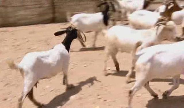 port-elizabeth-goat-7