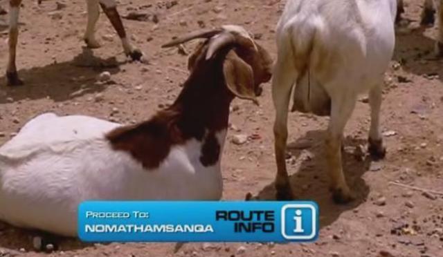 port-elizabeth-goat