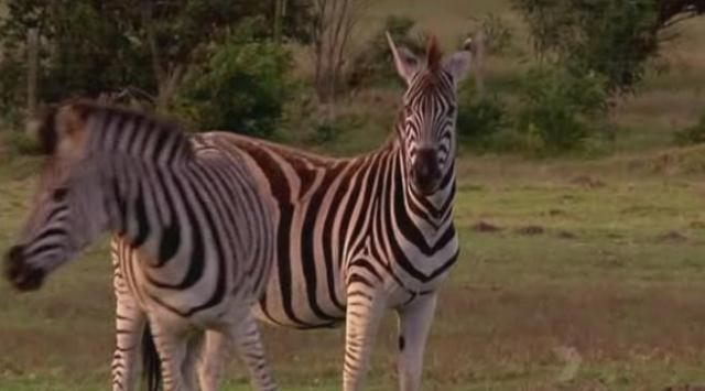 port-elizabeth-zebras-1
