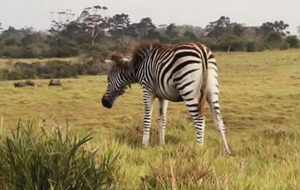 port-elizabeth-zebras-2