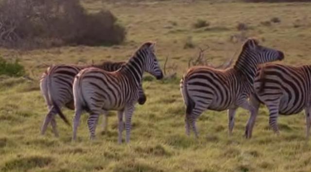 port-elizabeth-zebras-3