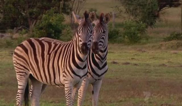 port-elizabeth-zebras