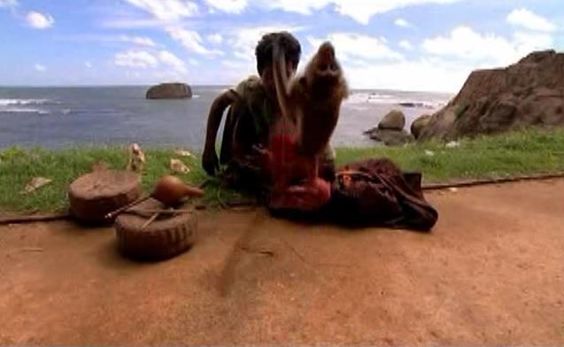 colombo monkey 1