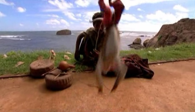 colombo monkey 2