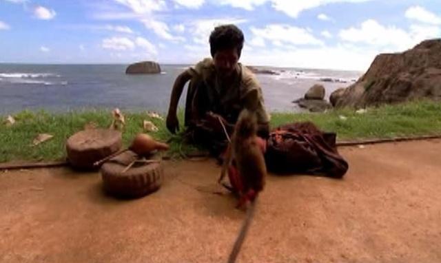 colombo monkey