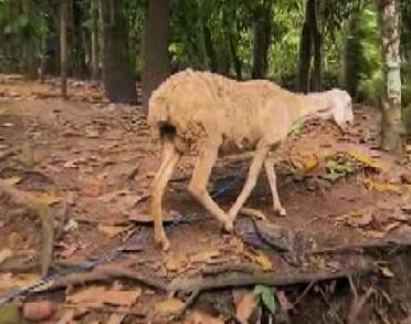 java sheep 4