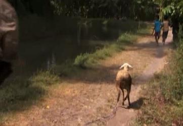 java sheep 5
