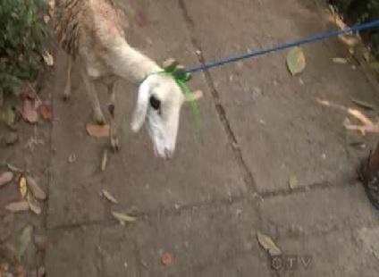 java sheep 7