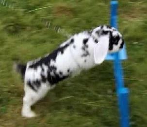 copenhagen bunny 1