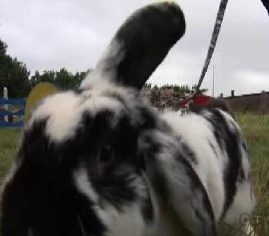 copenhagen bunny 2