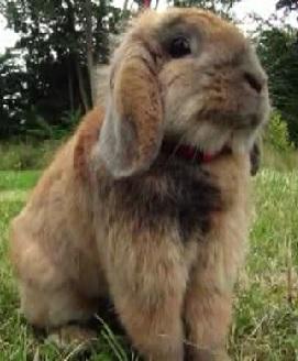 copenhagen bunny 4