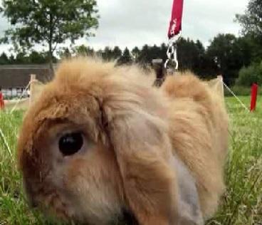copenhagen bunny