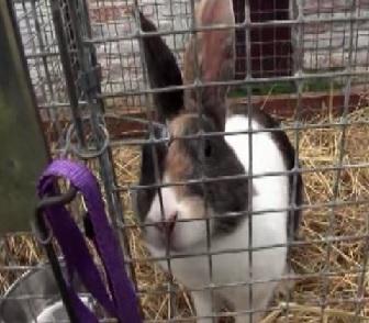 copenhagen rabbit 3