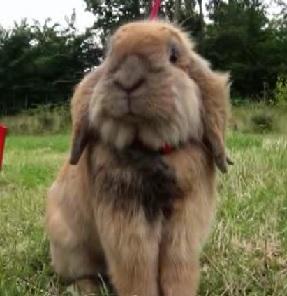 copenhagen rabbit 5