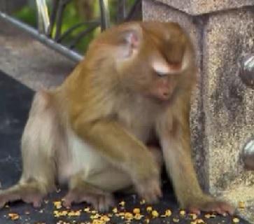 phuket monkey
