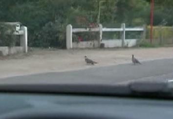 muur pigeons 2