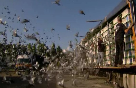 muur pigeons