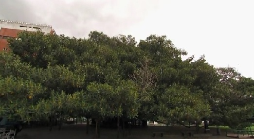 buenos aires tree