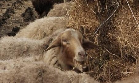baku sheep