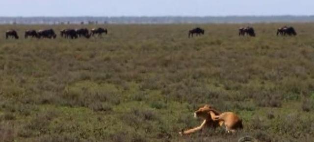 kilimanjaro lion 1