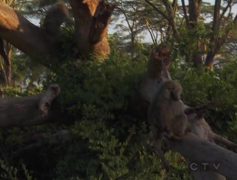 karatu monkey 1