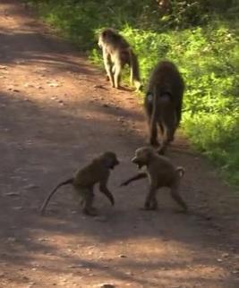 karatu monkey 3