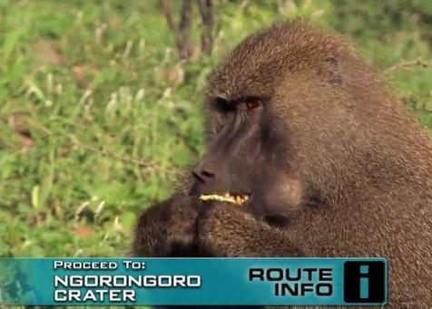 karatu monkey