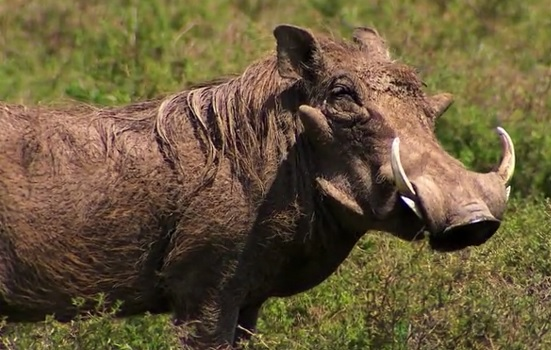 karatu warthog
