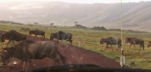 karatu wildebeast