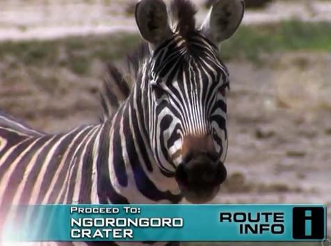 karatu zebra