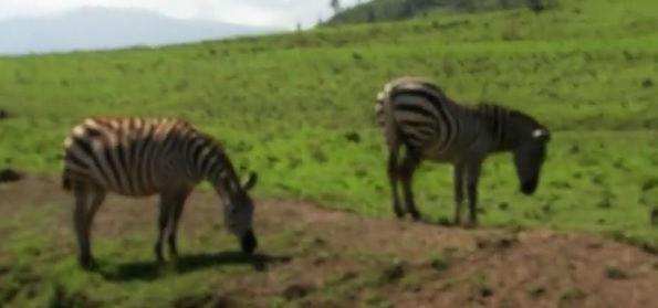 karatu zebras 1