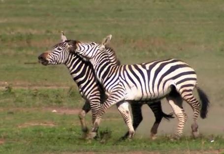karatu zebras