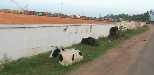 chandiroor cows