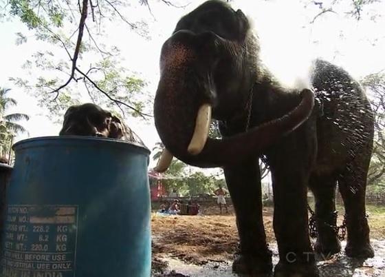 chandiroor elephant 1