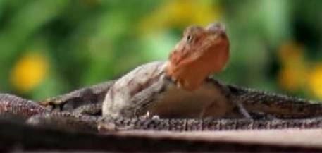 thevala lizard
